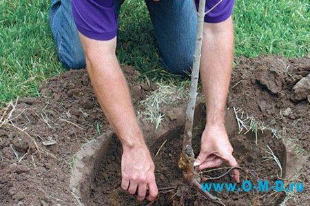 Как пересадить дерево.